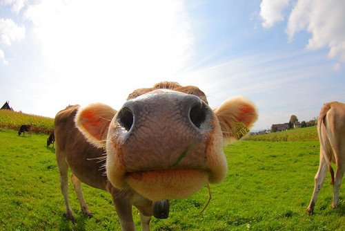 Zoom on cow's muzzle